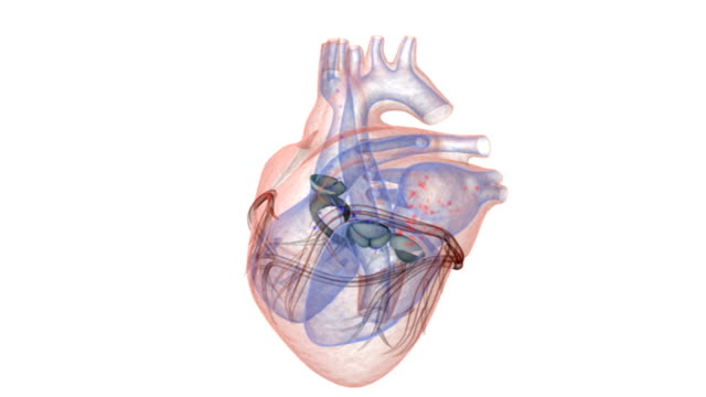 an anterior view of a transparent heart. the exterior anatomy of the heart is colored red and the interior blue. also the blood flow is represented by red and blue dots which flow through the interior - arteria video stock e b–roll
