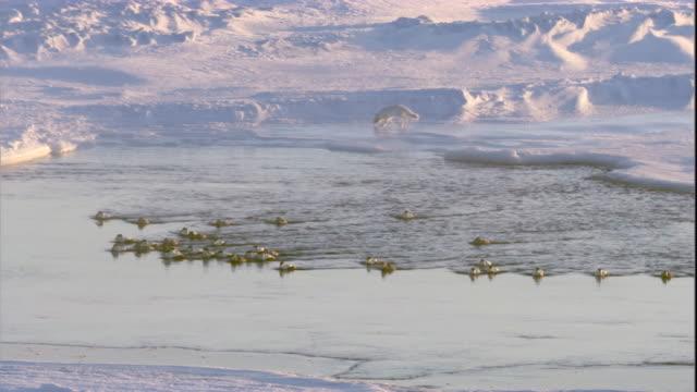 An Arctic fox circles polyna ice hole where eider ducks congregate. Available in HD.