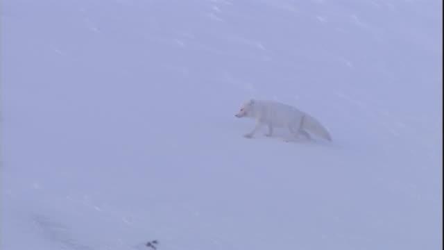 An Arctic fox crosses a snowy plain in Svalbard.