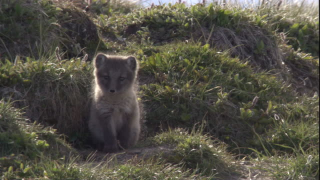 An Arctic fox cub calls from the entrance of its den in Arctic Canada. Available in HD.