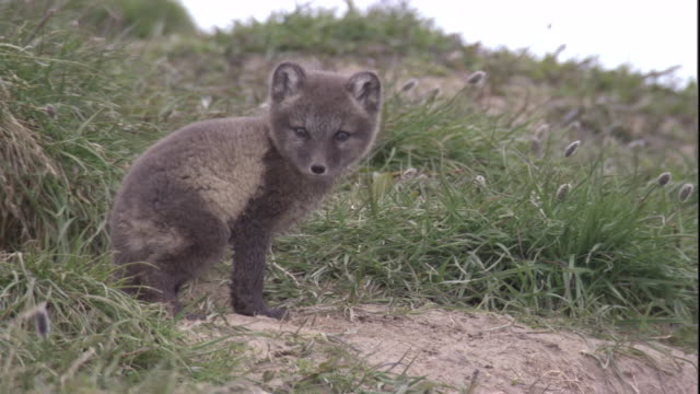 An Arctic fox cub calls on the tundra in Arctic Canada. Available in HD