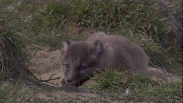 An arctic fox cub falls asleep on a grassy tundra in the Canadian Arctic. Available in HD.