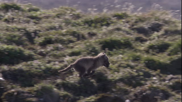 an arctic fox cub leaps across grassy mounds on tundra and enters its den in the canadian arctic. available in hd. - entering stock videos & royalty-free footage