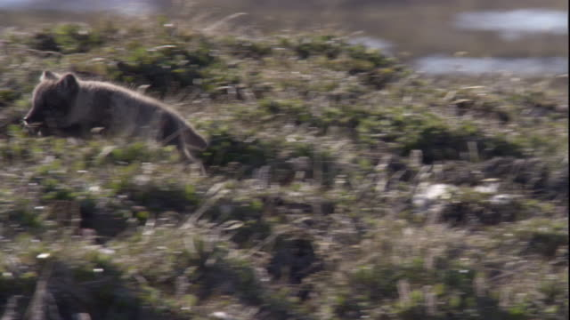 an arctic fox cub leaps uphill on a grassy tundra in the canadian arctic. available in hd. - hd format stock videos & royalty-free footage