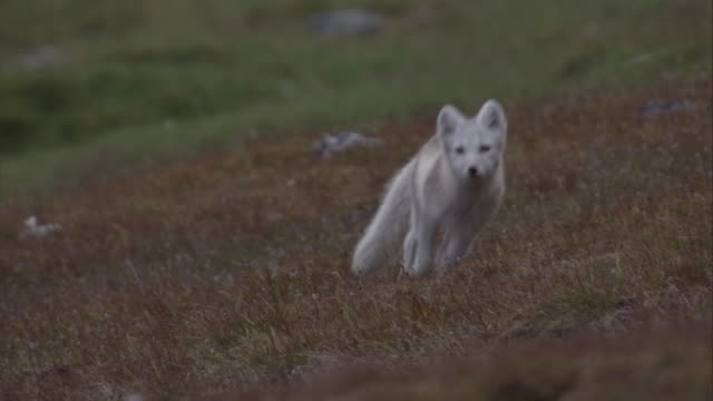 An Arctic fox cub runs over the tundra in Svalbard, Norway.