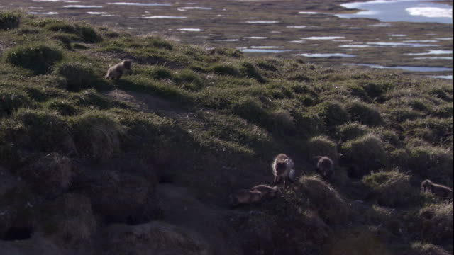 An Arctic fox delivers rodent prey to its cubs in Arctic Canada. Available in HD.