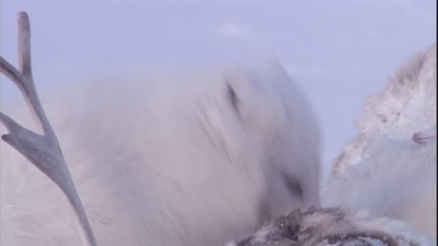 An Arctic fox feeds on a caribou carcass.