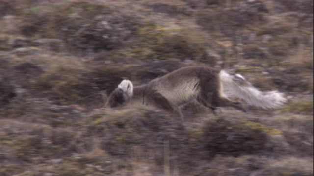 An Arctic fox in its summer coat runs on the tundra of Arctic Canada. Available in HD.