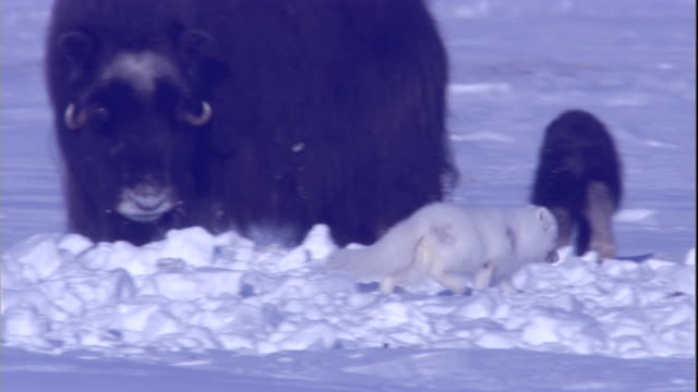 An arctic fox investigates musk oxen calves while adult oxen stand watch. Available in HD.