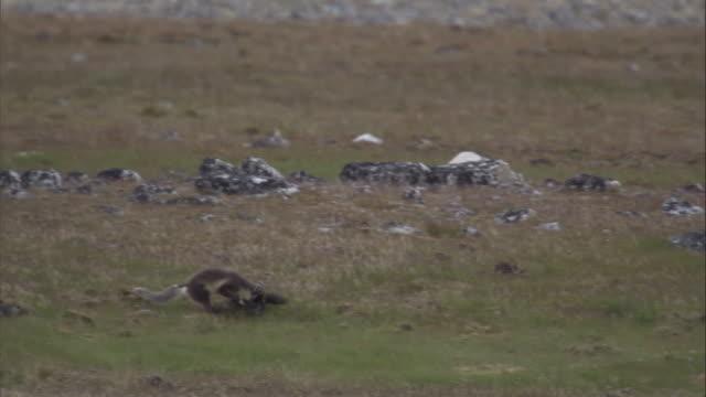 An arctic fox kills a Brunnich's guillemot in Svalbard, Norway.