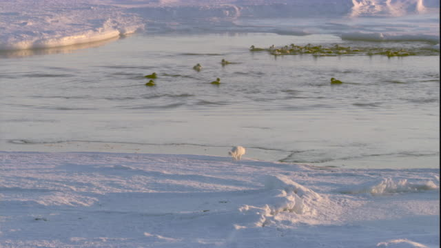 An Arctic fox prowls on sea ice where eider ducks congregate on polyna. Available in HD.