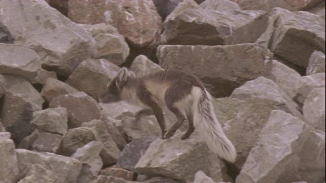 an arctic fox runs over rocks. - svalbard and jan mayen stock videos & royalty-free footage