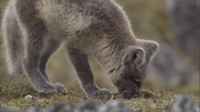An Arctic fox scavenges on the tundra.