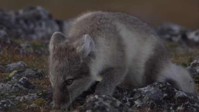 an arctic fox sniffs and sits in the tundra in miller's camp in svalbard, norway. - スヴァールバル諸島およびヤンマイエン島点の映像素材/bロール