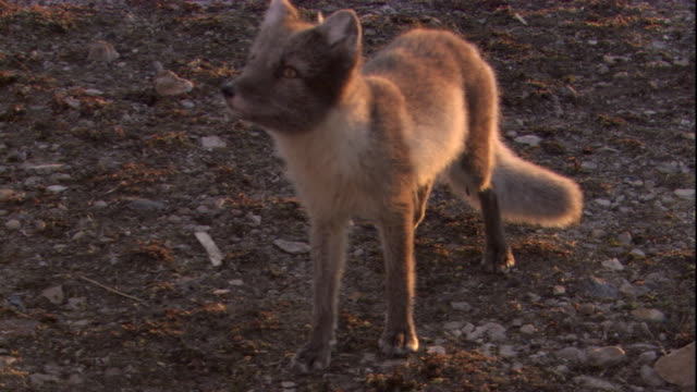 An arctic fox stands in a breeze and then walks away. Available in HD.