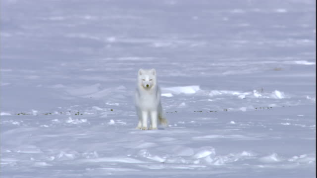 An arctic fox stands in the snow. Available in HD.