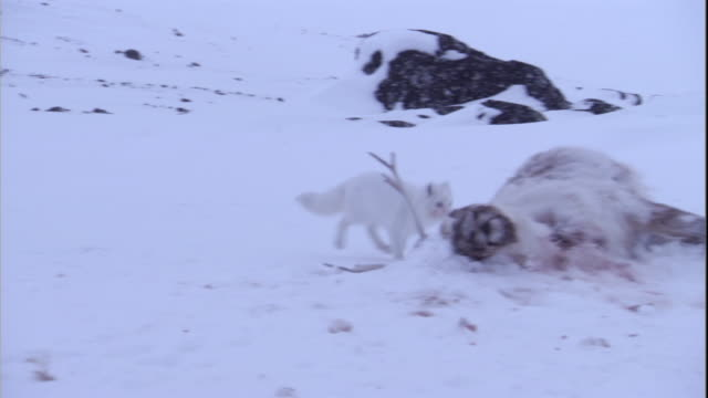 An arctic fox trots over to a caribou carcass and begins eating.