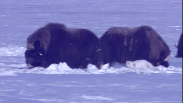 An arctic fox trots past a herd of musk oxen in Arctic Canada. Available in HD.