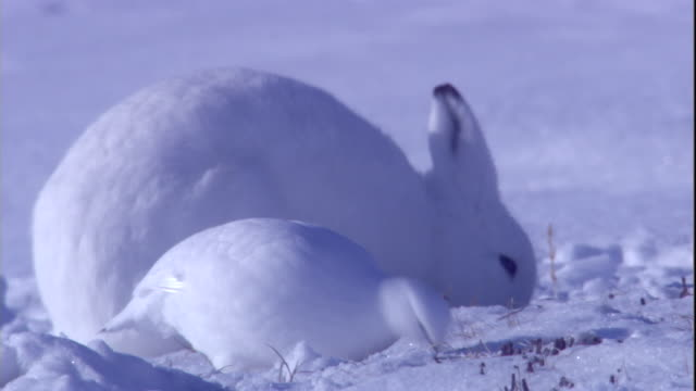 An arctic hare and ptarmigans forage for food on the snowy tundra of Arctic Canada. Available in HD.