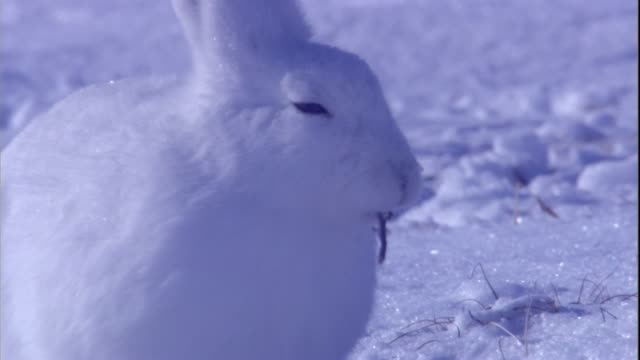 An arctic hare chews a twig on a snowy tundra in the Canadian Arctic. Available in HD.