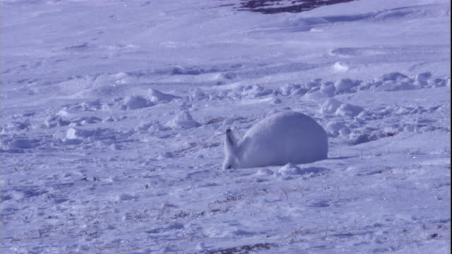 An arctic hare digs through snow on tundra in the Canadian Arctic. Available in HD.