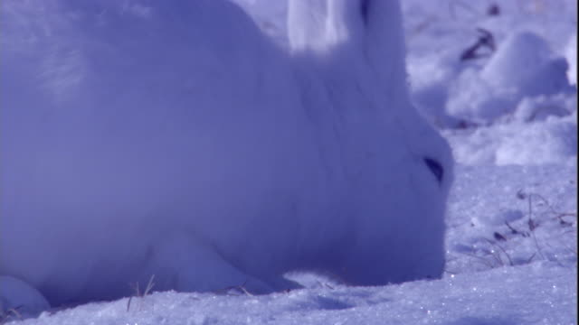 An arctic hare grazes and digs through snow on tundra in the Canadian Arctic. Available in HD.
