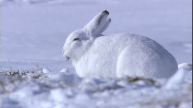 an arctic hare grazes on grass hidden beneath the snow on a tundra in arctic canada. available in hd. - kanada bildbanksvideor och videomaterial från bakom kulisserna