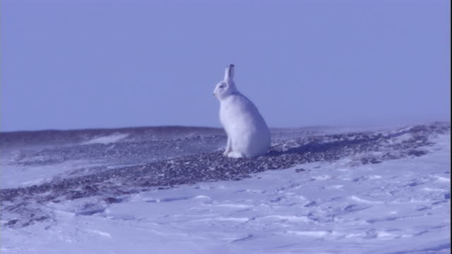 An arctic hare hops across the snowy tundra of Arctic Canada. Available in HD.
