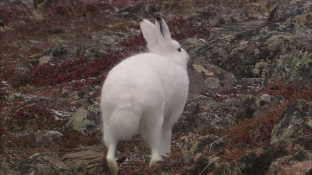 an arctic hare stretching in the north pole tundra - rabbit animal stock videos & royalty-free footage