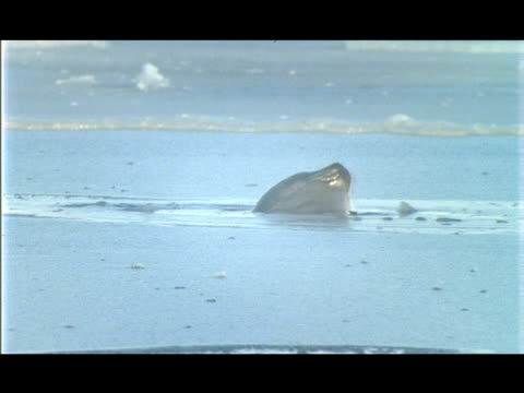 stockvideo's en b-roll-footage met an arctic seal pokes its head through the ice then plunges into the water. - zeehond
