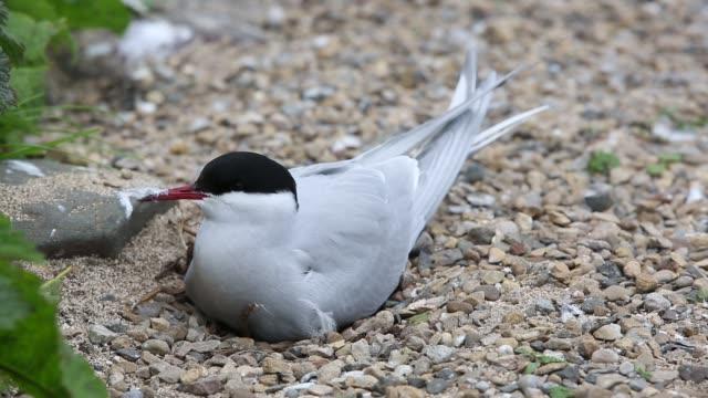 an arctic tern, sterna paradisaea nesting on the farne islands, northumberland, uk. - farne islands stock videos & royalty-free footage