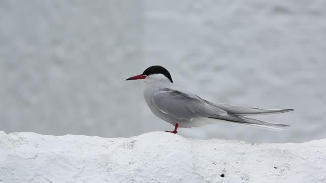 an arctic tern, sterna paradisaea on the farne islands, northumberland, uk. - farne islands stock videos & royalty-free footage