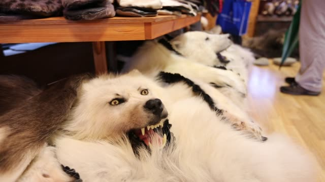 an arctic wolf and polar bear pelts for sale in a shop in longyearbyen on svalbard. - animal hair stock videos & royalty-free footage