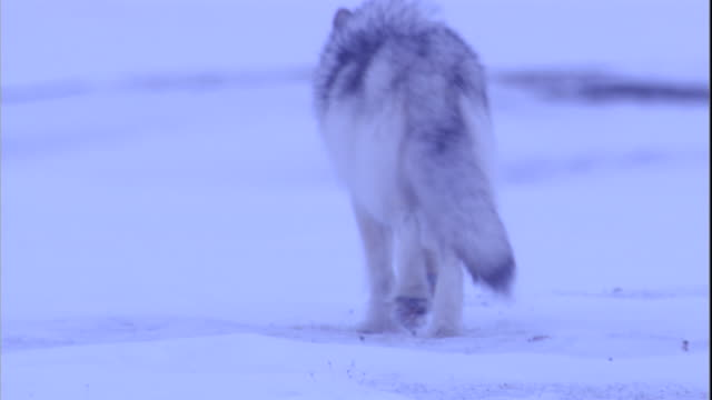 An arctic wolf trots away across the snow. Available in HD.