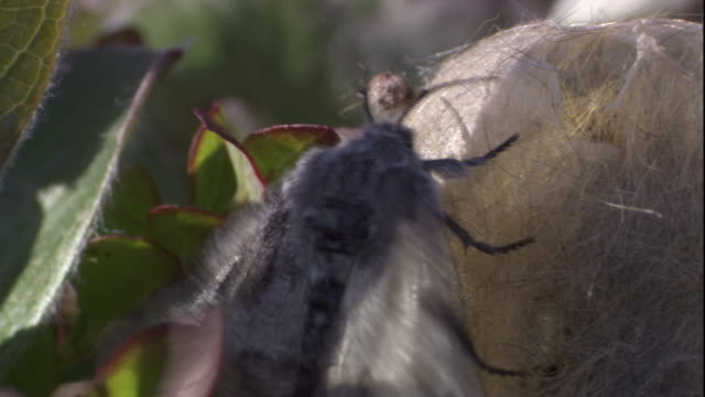 an arctic woolly bear moth clings to its cocoon. available in hd. - moth stock videos and b-roll footage
