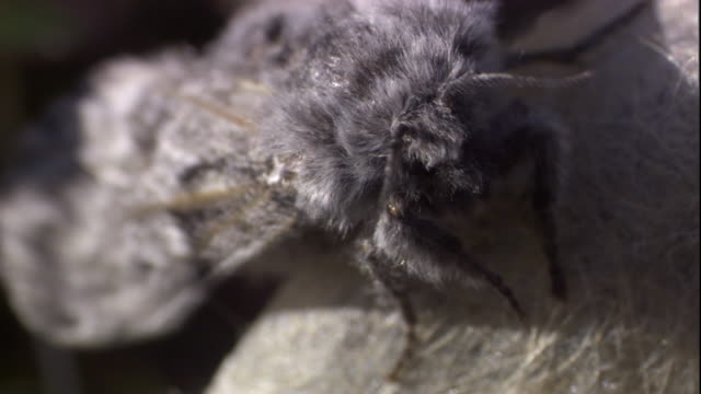 An arctic woolly bear moth moves its wings as it sits on top of a cocoon. Available in HD.