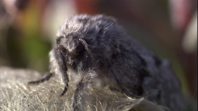 An arctic woolly bear moth sits on its cocoon. Available in HD.