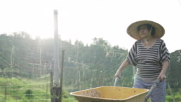 An asian chinese active senior woman pushing a cart , wheelbarrow to collect her homegrown fruit and vegetable from her organic farm