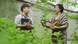 an asian chinese female mid adult woman examining on her farm fruit in greenhouse using digital tablet with her mother