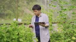 an asian chinese female mid adult woman examining on her farm fruit in greenhouse using digital tablet