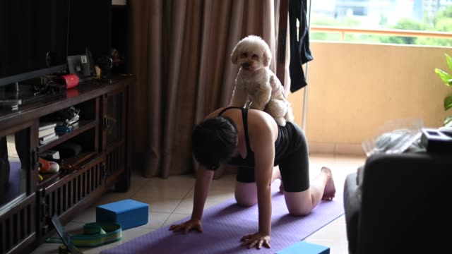 an asian chinese mid adult practicing yoga exercising at home while her toy poodle pet dog disturbing her and licking her face - living room stock videos & royalty-free footage