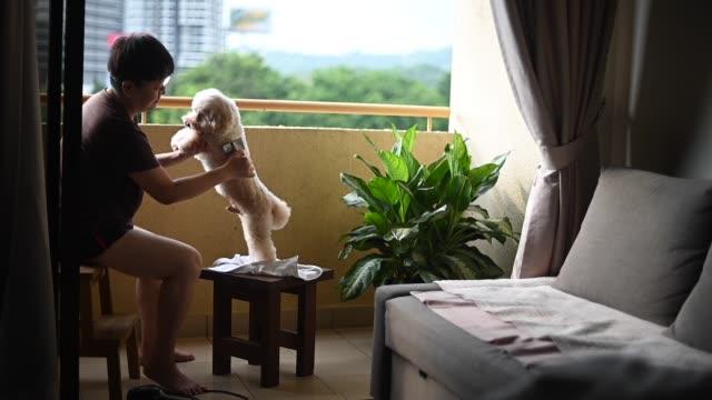vidéos et rushes de une femme chinoise asiatique mi adulte nettoyant son caniche de jouet d'animal familier au brossage à la maison - rester à la maison expression
