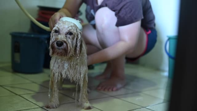 an asian chinese mid adult woman cleaning her pet toy poodle at home - hose stock videos & royalty-free footage