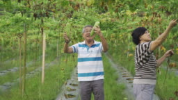 An asian chinese senior active couple checking and plucking their bitter gourd hanging at the tree harvest and ripe ready to eat