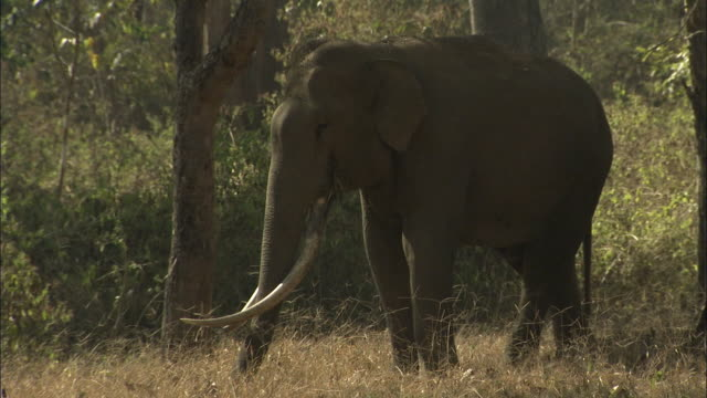an asian elephant feeds on dry grasses. - elephant stock videos & royalty-free footage