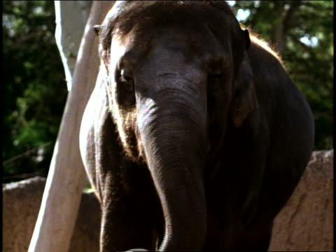an asian elephant is standing outdoors in its habitat - dreiviertelansicht stock-videos und b-roll-filmmaterial