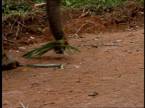 an asian elephant walks on a trail. - tierische nase stock-videos und b-roll-filmmaterial