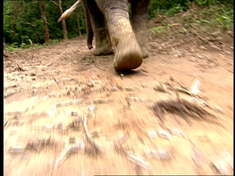 an asian elephant walks on a trail. - televisione a ultra alta definizione video stock e b–roll