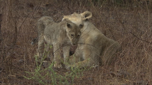 An Asiatic lion cub (panthera leo persica) being groomed by an older lioness before running off to play with another cub