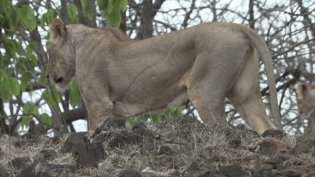 An Asiatic lioness and a cub (panthera leo persica) standing on a mound with their backs turned to the camera watching their surroundings